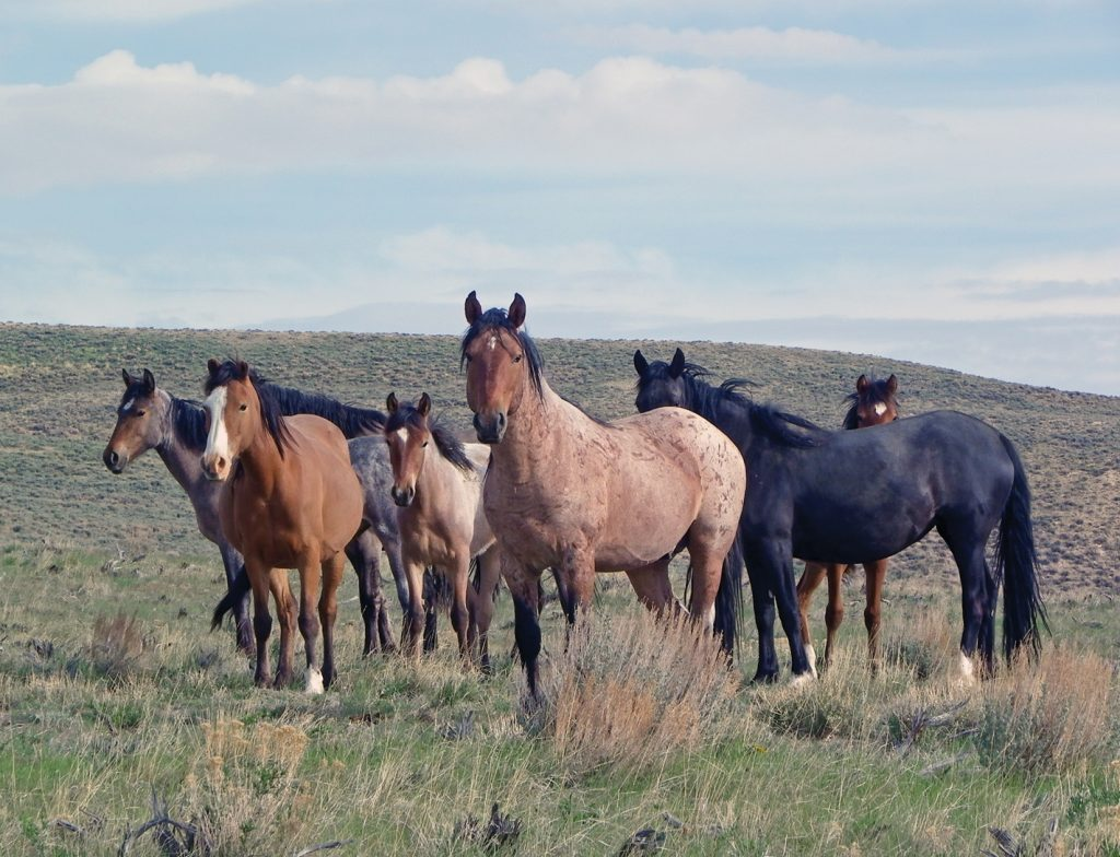 wild horse round up in nevada essay The wild horse ranges can be found in arizona, california, colorado, idaho, montana, new mexico, oregon, utah, wyoming and of course, nevada most of the wild horse population is in nevada.